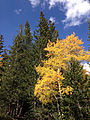 2014-09-15 15 26 29 Aspens showing autumn foliage amid Engelmann Spruces along the Alpine Lakes Trail in Great Basin National Park, Nevada.JPG