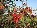 20141108Parthenocissus quinquefolia1.jpg