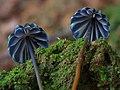 2015-08-18 Marasmius purpureostriatus Hongo 570166.jpg