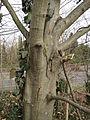 20150131Carpinus betulus.jpg