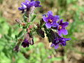 20150520Anchusa officinalis3.jpg