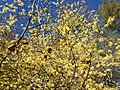 2016-10-25 10 37 23 American Witch-Hazel blooming at the Fishers Gap Overlook along Shenandoah National Park's Skyline Drive on the border of Page County, Virginia and Madison County, Virginia.jpg