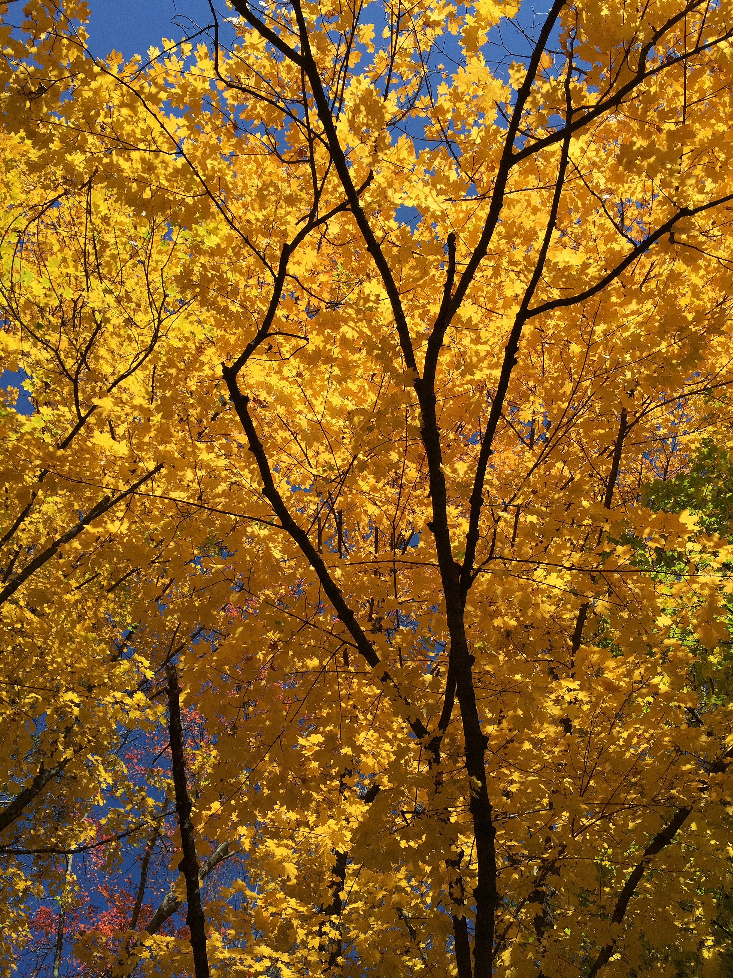 file2016 11 05 11 54 56 view up into the canopy of a norway maple during autumn near the west end of brenwal avenue in ewing mercer county new jerseyjpg - Orange Canopy 2016
