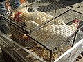 2018-02-12 Chickens for sale, Algoz market.JPG