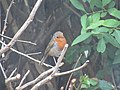 2018-07-29 Robin (Erithacus rubecula), Trimingham, Norfolk (2).JPG