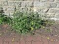 20180525Diplotaxis tenuifolia2.jpg