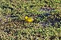 20180805-Yellow Warbler at Seymour Norte-7 (9299).jpg