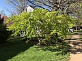 2019-04-16 16 37 04 A green-leaved Japanese Maple leafing out in spring along Ladybank Lane in the Chantilly Highlands section of Oak Hill, Fairfax County, Virginia.jpg