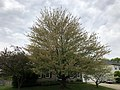 2019-04-25 10 11 42 A Red Maple heavily laden with mature seeds along Kinross Circle in the Chantilly Highlands section of Oak Hill, Fairfax County, Virginia.jpg