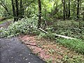 2019-08-16 07 25 53 A Red Maple branch broken during a severe thunderstorm along a wooded walking path in the Franklin Farm section of Oak Hill, Fairfax County, Virginia.jpg