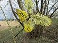 20190313 Salix caprea 4.jpg