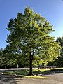 2020-05-10 18 08 08 Pin Oak leafing out in spring within Franklin Farm Park in the Franklin Farm section of Oak Hill, Fairfax County, Virginia.jpg