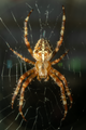 2021 08 29 2661 Araneus diadematus female Wikipedia.png