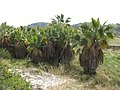 213 Plantació de palmeres al camí de Vespella (Salomó).jpg
