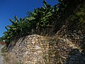 22-Südostküste 15 km von Alanya unterhalb von Syedra - terassierter Freilandbananenanbau wie im Weinbau - Bananenlagen - panoramio.jpg