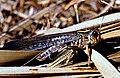 3 Migratory locust Locusta migratoria.jpg