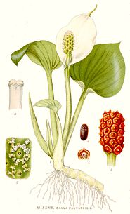 420 Calla palustris.jpg