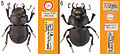 A-review-of-the-primary-types-of-the-Hawaiian-stag-beetle-genus-Apterocyclus-Waterhouse-(Coleoptera-zookeys-433-077-g002.jpg