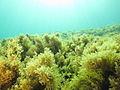 A Cystoseira forest in Calvi Bay (Corsica).JPG