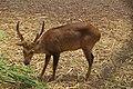 A Deer at Patiala Zoo Patiala.jpg