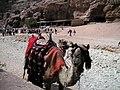 A Petran camel.jpg