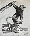 A Proboscis monkey holding on to a tree with its left arm wh Wellcome V0020906EL.jpg