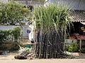 A aesthetic sugarcane1.JPG