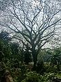 A big Mahogany tree.jpg