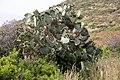 A blooming cactus in Sardinia, Italy (48399689767).jpg