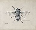 A blow fly (Bengalia depressa). Pen and ink drawing by A.J.E Wellcome V0022575.jpg