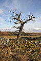 A dead elm tree on Skelston Moor - geograph.org.uk - 1725919.jpg