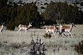 A group of pronghorns frolic antilocapra americana.jpg