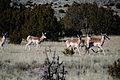 A group of pronghorns frolic antilocapra americana.jpg