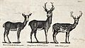 A hind and a stag of the family of Red-Deer and a Fallow-dee Wellcome V0020459.jpg