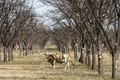A longhorn steer appears to pose in a thicket in rural Kinney County, Texas LCCN2014631646.tif