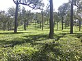 A tea plantation in Munnar.jpg