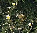 A water crowfoot (Ranunculus subgenus Batrachium) - Flickr - S. Rae.jpg