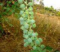 Aavanakk seeds.JPG