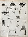 Above, a sprig of a clove tree, a beetle, two sprigs Wellcome V0020665EL.jpg