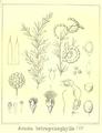 Acacia tetragonophylla.PNG