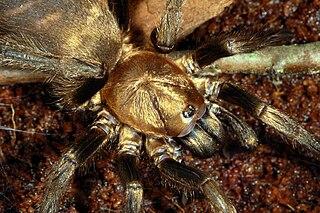 <i>Acanthogonatus</i> Genus of spiders