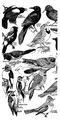 Accompany Manual of Bird Study-0007.png