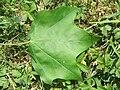 Acer campestre var. acuminatilobum leaf.jpg