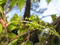 Acer cissifolium 6.JPG