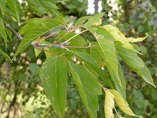Javorovec jaseňolistý - listy