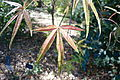 Acer pentaphyllum - Quarryhill Botanical Garden - DSC03218.JPG