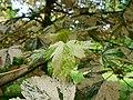 Acer pseudoplatanus Nizetii 2017-06-25 3004.jpg