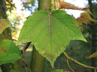 <i>Acer rufinerve</i> Species of maple