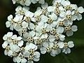 Achillea millefolium (14378530711).jpg