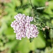 Achillea millefolium at Lac de Morgins (2).jpg